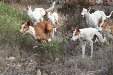 how to a hound to hunt beezer ballet with the ibizan hounds of mallorca welcome to podifee s