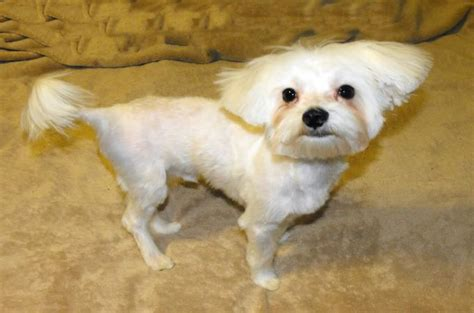 maltipoo puppy cut basic grooming guide haircut styles for maltipoo dogs
