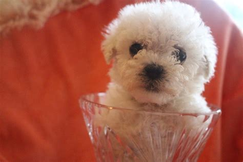 bichon frise puppies for sale ohio teacup maltese puppies for sale ohio breeds picture