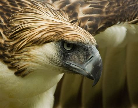 eagle tattoo hd wallpaper philippine eagle pictures and wallpapers animals library