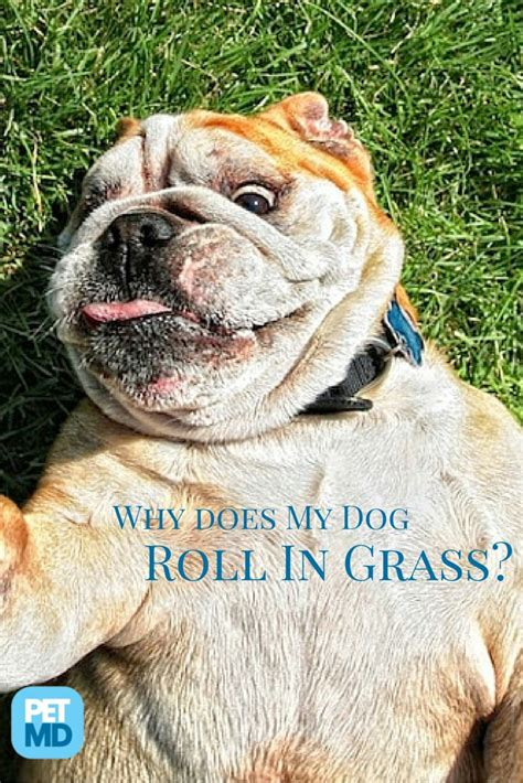 why do dogs roll in grass 1000 images about did you on pet infographic pet care tips and pet