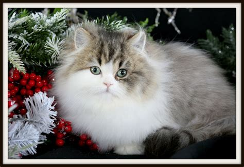teacup rug hugger kittenultra kittens for