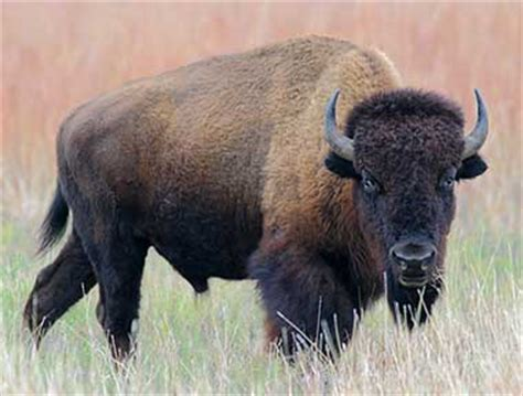 oklahoma state animal buffalo american bison