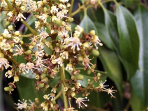 Planter Des Fougères by Litchi Letchi Litchee Fruit De La R 195 169 Union