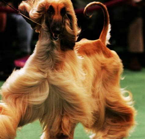 show breeds prize breeds at westminster kennel club show clubhouse news