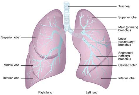 lunge anatomie wissen zu aufbau funktion krankheiten