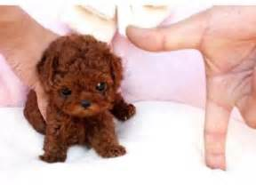 colors of australian shepherds toy poodle puppies for sale chocolates whites and other