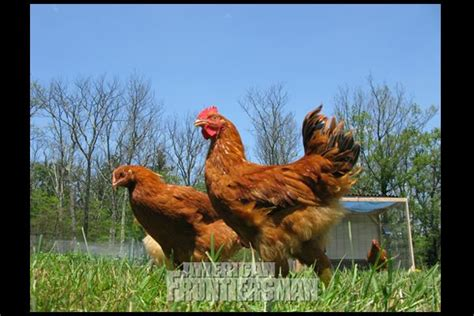 backyard chickens magazine 17 best images about american frontiersman magazine on pinterest powder horn hand