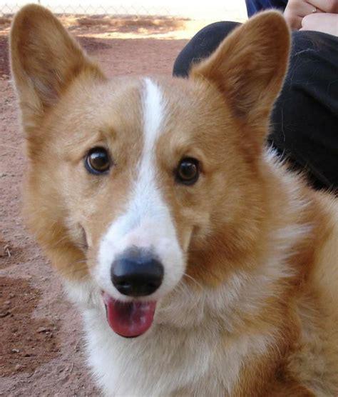 corgi puppies adoption 25 best ideas about corgi rescue on corgi puppies corgi and corgis