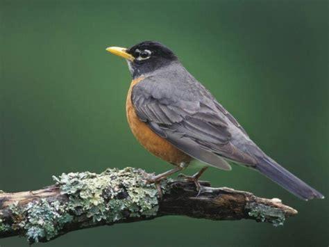 michigan s state bird the robin i love birds pinterest
