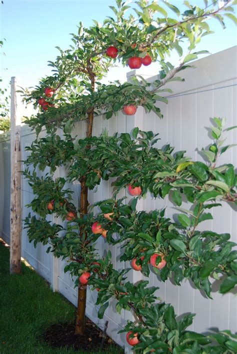 growing fruit trees how to grow espalier fruit trees designrulz