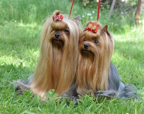 are yorkies with do terrier dogs shed do yorkies shed a lot yorkie