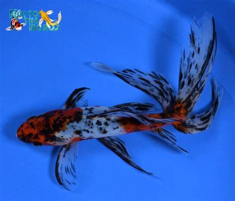 koi   world watonai goldfish