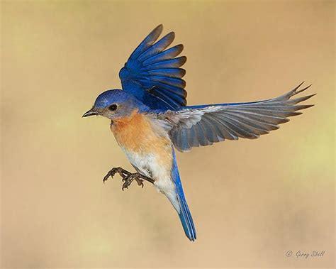 eastern bluebird turdidae sialia sialis north america