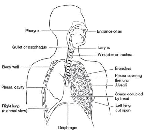 anatomy of diagram simple diagram of human respiratory system human