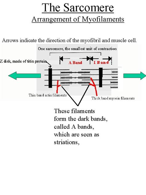 labeled sarcomere diagram the gallery for gt neuromuscular junction sarcomere