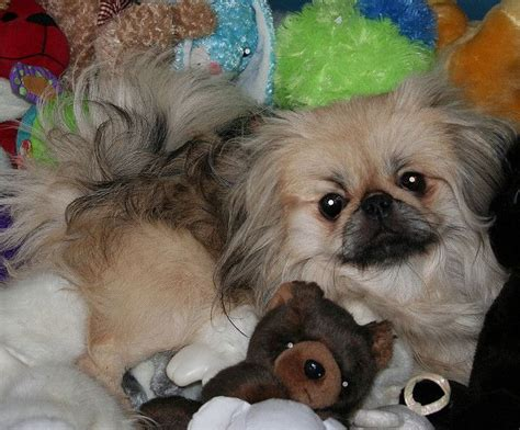 teacup pekingese puppies for sale best 25 pekingese puppies for sale ideas on pekingese puppies pekingese