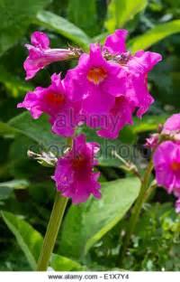 Pink Trumpet Shaped Flowers - delavayi stock photos amp delavayi stock images alamy