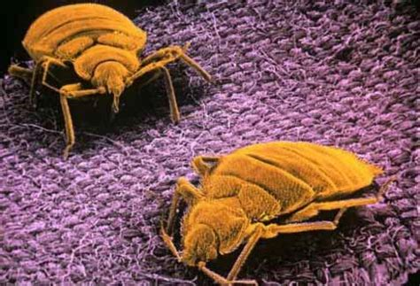 Bed Bug Registry Ohio by Bed Bug Picture Gallery Bed Bug Registry Database