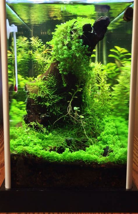 java moss aquascape pin by pepe corgi on aquascape pinterest