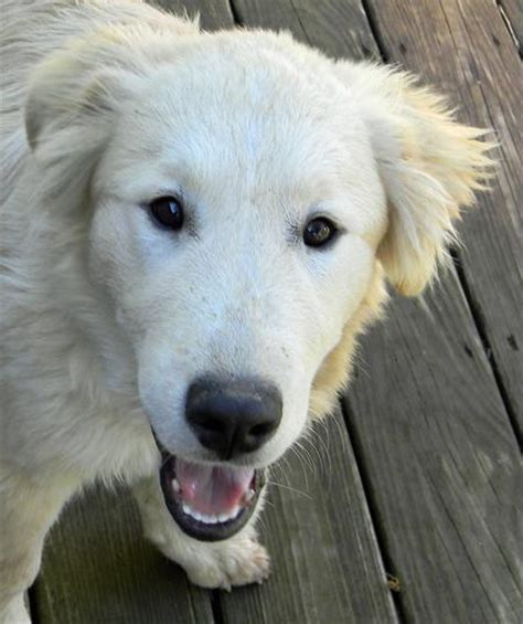 great pyrenees mix puppies noah the great pyrenees mix dogs daily puppy models picture