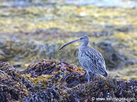 curlew photograph : kelimages photography by kenneth