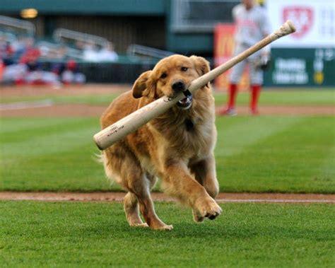 dogs baseball official four legged baseball bat retriever fetches for cats barkpost