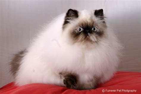 himalayan cats cats and kittens on himalayan cat himalayan