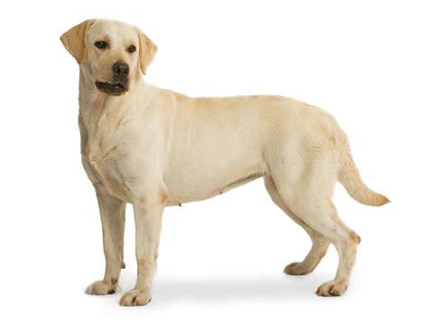 royal canin labrador puppy royal canin labrador retriever sterilised