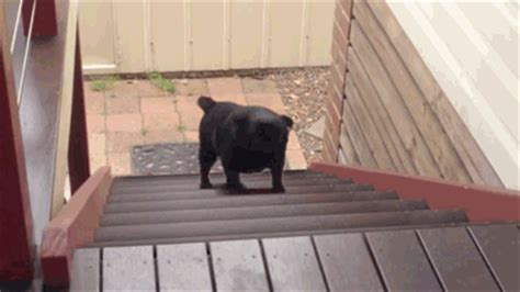 everything pug endless the struggle gif find on giphy