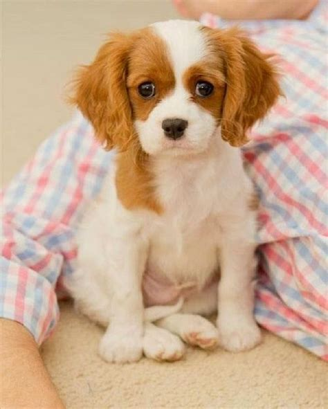 small house dogs good with kids 1000 ideas about small dog breeds on pinterest smallest dog breeds dog breeds list