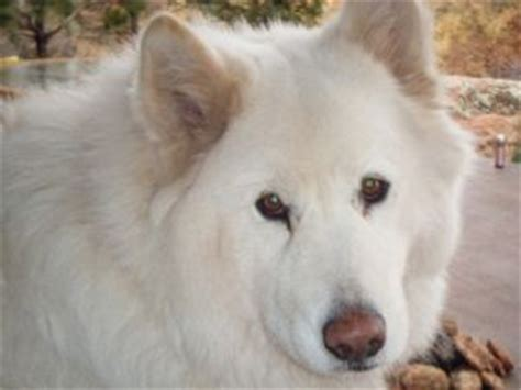 samoyed puppies for sale az samoyed puppies in colorado