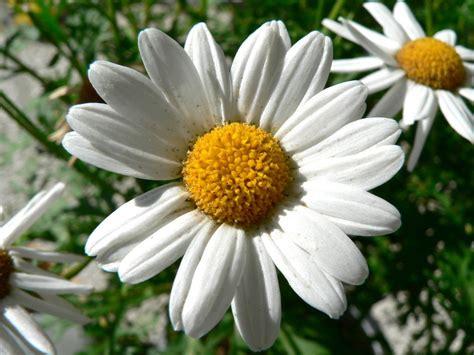 daisy flower maritza craig daisy flower