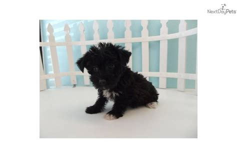 yorkie chon puppies meet julie a terrier yorkie puppy for sale for 1 099 yorkie bichon