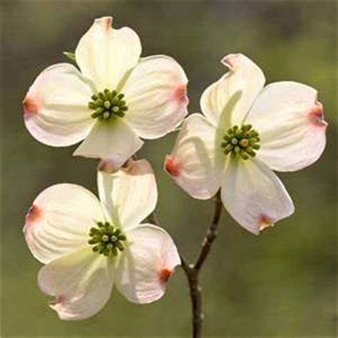 state flower of virginia dogwood blossoms virginia state flower we had a tree in the yard of my childhood home and