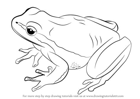 Drawing A Tree Frog Step By Step by Learn How To Draw A Lemon Yellow Tree Frog Hibians