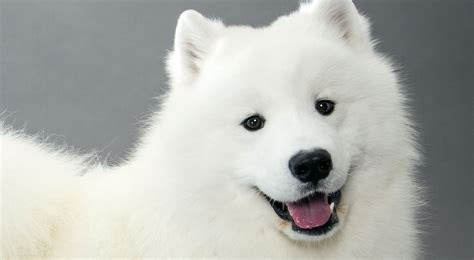 buy samoyed puppy samoyed breed information american kennel club