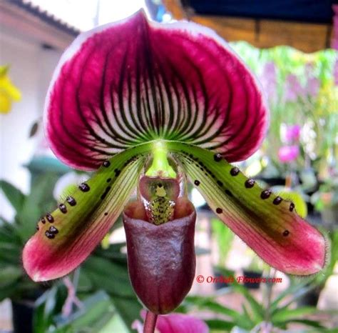 purple slipper orchid 134 best images about paphiopedilum orchids on