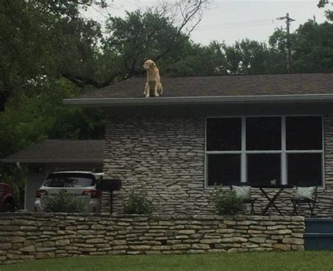 roof jumping dog huckleberry startles passersby viralitytoday people are obsessed with this dog named
