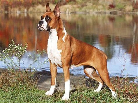american boxer puppies boxer dogs supplements and exercise