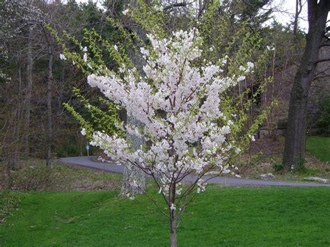 1 cherry tree medowie yoshino cherry tree
