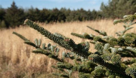 find an iowa christmas tree farm near you