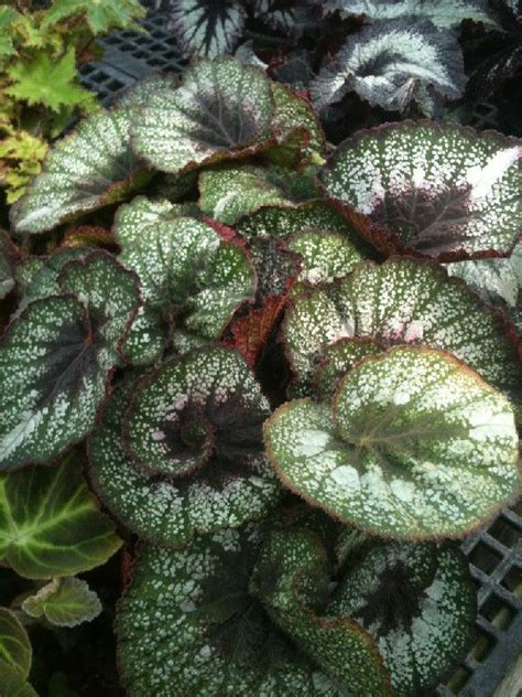 97 best images about my my my begonia on pinterest