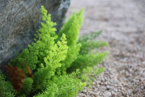 asparagus fern plant care  growing guide