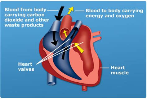 circuit setter valve definition diagram of the dog heart images how to guide and refrence