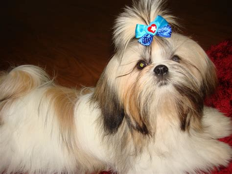 minature shih tzu micro mini shih tzu breeds picture