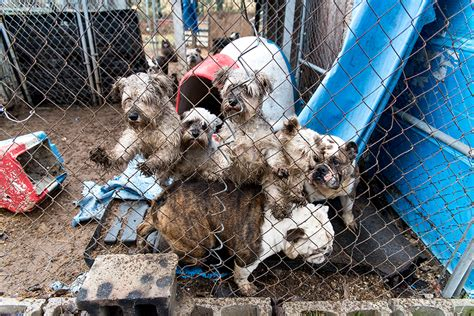 aspca puppy mills dogs rescued from mi puppy mill are ready for loving homes after months of