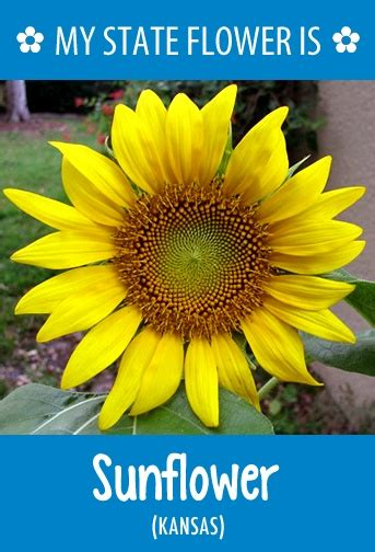 kansas sunflower 50 state flowers 1 pinterest 50 best images about hometalk state flowers on pinterest