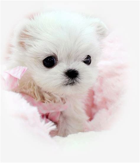 tea cup dogs puppies for sale in new york teacup puppies store