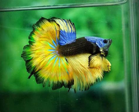 Ikan Cupang Hias Halfmoon Fancy the colors and kinds of betta fish xcitefun net
